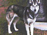 Wolf-husky mix. Enough said.