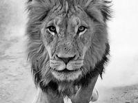 Leo: The Lioness.