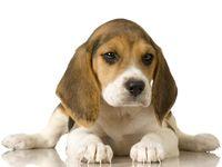 Beagles!  Beagles!  Beagles!