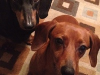 Doxies....and other cute animals!