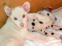 1000 shoes white lion cubs at zoo