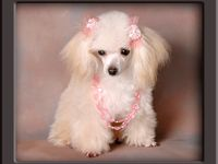 1000 images about teacup poodles