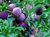 Gardening - Fruits