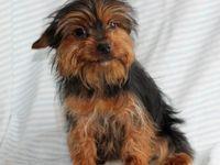 Petunia Yorkshire Terrier Mix Puppy For Sale In Fredricksburg