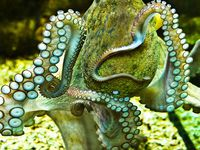 UW * Octopuses & other Celapodes