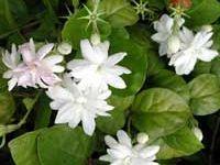 Plants (Jasmine)