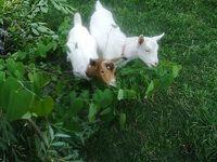 Homestead: Goats