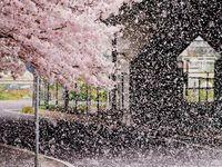 ピンク 桜