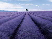 ✿ Love the lovely fragrance of Lavender, the way it grows, the way it feels in my hand - love all things Lavender!   I hope to have a lavender field someday!