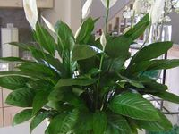 1000 images about pretty parrish on pinterest peace for Peace lily in bathroom
