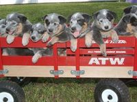 ACD also known as Blue or Red Heelers. The BEST dogs ever ❤️