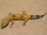 8 Best Images About Geckos And Other Reptiles On Pinterest