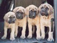 Mastiff's