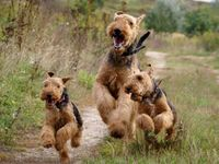 Airedale Terrier Fun