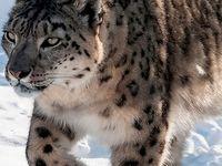 БАРС / Ирбис, или снежный барс (Uncia uncia) – единственный вид рода ирбисов. Крупная кошка дымчато-буровато-серой окраски с узором из больших кольцеобразных тёмно-бурых пятен, разбросанных по всему телу. От барса (леопарда) отличается сероватой окраской меха.