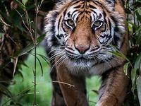 النمر نمر صور نمور طريقة حيوان حيوانات صور نمر النمر الوردي صور نمور صور النمر قناة النمور أسد ضبع الغابة صور نمر الا Animal Conservation Animals Animal Planet