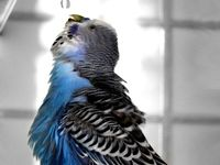 Budgies, canaries and birds