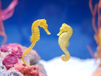 I am a  seahorse keeper (tank-raised only), so I collect photos of new and unique species of seahorses, seadragons, pipehorses, trumpet fish, & pipefish  that interest me :) Enjoy!