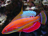 1000 images about fish on pinterest saltwater aquarium for Best reef safe fish