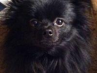 Baby Black Pomeranian 2 Months Jenko Black Pomeranian