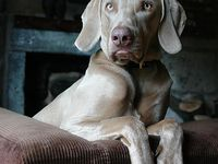Weimaraners were bred in 19th century Germany for speed and courage to hunt big game and later birds. The medium-size, all-purpose gundog was developed in Germany at the court of the Grand Duke Karl August of Weimar.