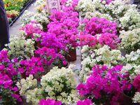 Bougainvillea Flowers(စကၠဴပန္းမ်ား
