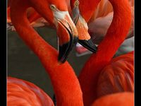 Animals/Birds/Flamingos