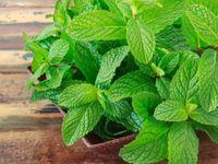 فوائد النعناع مجلة رجيم Patio Garden Fruit Garden Plant Leaves