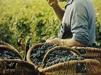 Growing the grape