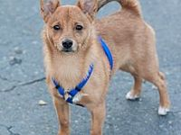 Gabby Adopted Puppy Loomis Ca Shiba Inu Jack Russell Terrier Mix In 2020 Shiba Inu Terrier Mix Jack Russell Terrier