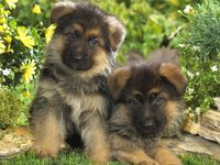 Gsd Puppy Food Recipes