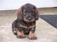 Doxies.. :)