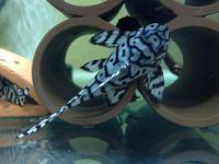 1 2 Yellow King Tiger Pleco L333 Hypancistrus Sp Live Freshwater Tropical Beautiful Fish Tropical Fish Fresh Water