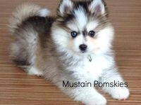 13 Best Images About Pomskie On Pinterest Oakley