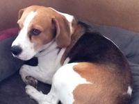 Beagle Sam / Fotoalbum met foto's van onze Beagle Sam