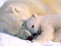 Polar Bears & their World