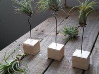 Plantas de Aire. Tillandsia