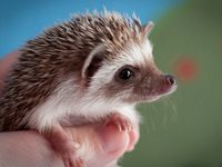 Cute little critters, the hedgehogs