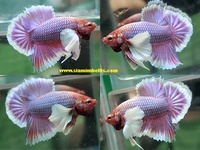 15 best images about betta fish names the many varieties for Female betta fish names