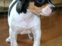 The Rat Terrier is commonly seen on farms and in homes as an alert watchdog and lively companion. This breed was originally developed from crosses between Smooth Fox Terriers and Manchester Terriers.
