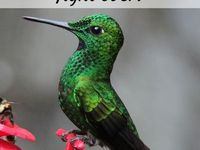 Hummingbirds  Board