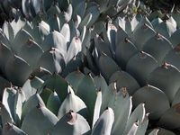agave / succulents / cacti