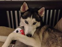 disappointed husky - photo #41