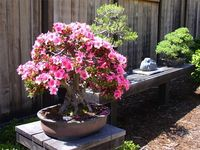 1000 Images About Bonsai On Pinterest Gardens Trees