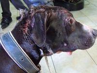 Diritti animali , animalismo