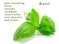About doterra basil on pinterest doterra basil and ear infection