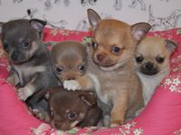4 Dog Dogs Puppies Puppy Chihuahua #09 Pets Greeting Notecards// Envelopes