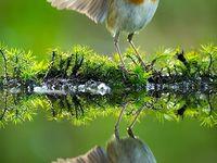 Robins and corvids