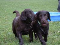 Imported Dark Chocolate European Labrador Pups Available
