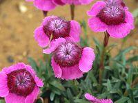 edible flowers/plants